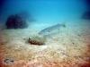 Pickhandle Barracuda; Sphyraena jello