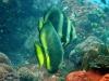 Pinnate Batfish; Platax pinnatus
