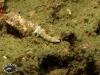Plakobranchus sp; Plakobranchidae
