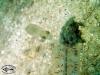 Pygmy Squid; Idiosepius paradoxus