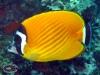 Racoon Butterflyfish; Chaetodon lunula