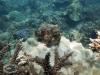 Reef Cuttlefish; Sepia latimanus
