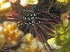 Rock-borer Urchin; Echinometra oblonga