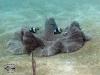 Saddleback Anemonefish; Amphiprion polymnus