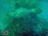 Scrawled Filefish; Aluterus scriptus