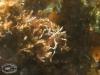 Sea Spiders; Pycnogonida