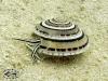 Other Sea Snails; Prosobranchia
