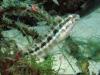 Short-headed Fang Blenny; Petroscirtes breviceps