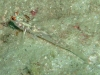 Signalfin Goby; Coryphopterus signipinnis