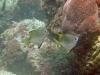 Silver Batfish; Monodactylus argenteus
