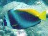 Singular Bannerfish; Heniochus singularius