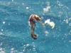 Spiny Seahorse; Hippocampus hystrix
