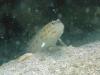 Spotfin Shrimp Goby; Ctenogobiops pomastictus