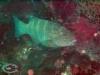 Spotted Coral Grouper; Plectropomus leopardus