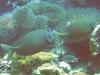 Spotted Rabbitfish; Siganus punctatus