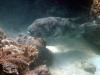 Starry Pufferfish; Arothron stellatus