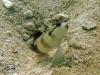 Steinitzes Shrimp Goby; Amblyeleotris steinitzi