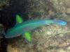 Surf Parrotfish; Scarus rivulatus