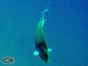 Surgeon & Unicornfish; Acanthuridae