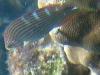 Tailspot Wrasse; Halichoeres melanurus