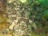 Tassled Scorpionfish; Scorpaenopsis oxycephala