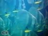 Teira Batfish; Platax teira