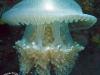 Thysanostoma thysanura; Rhizostome Jellyfish