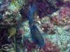 Three-spot Cardinalfish; Apogon trimaculatus