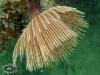Tube Worm; Sabellidae