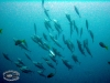 Tuna & Mackerel; Scombridae