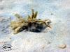 Urchin Crab; Dorippe frascone