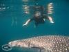 Whale Shark; Rhincodon typus