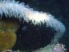 Ellisellidae fam; Wire Coral