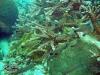 Wolf Cardinalfish; Cheilodipterus artus