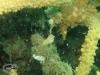 Yellow banded Cardinalfish; Apogon cyanosoma