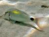 Yellow-spot Goatfish; Parupeneus indicus