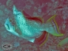 Yellowmargin Triggerfish; Balistoides flavimarginatus
